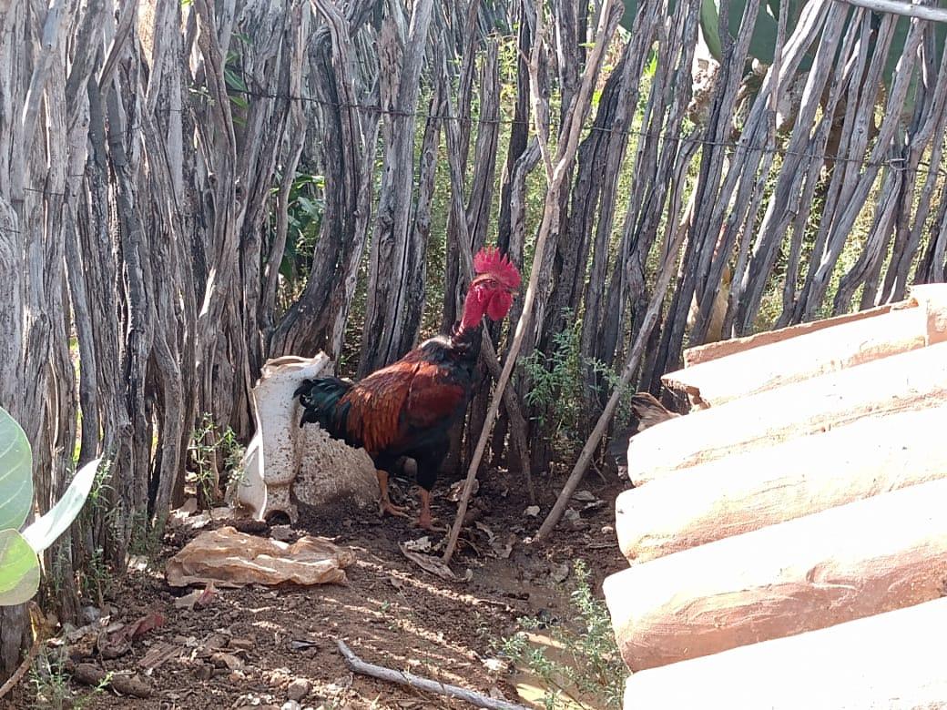 ADAGRI e SESA atuam em investigação de mortalidade de aves com possível envolvimento de enfermidade em ser humano no município de Tauá-CE