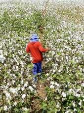Adagri implanta medidas fitossanitárias para cultivo de algodão no Ceará