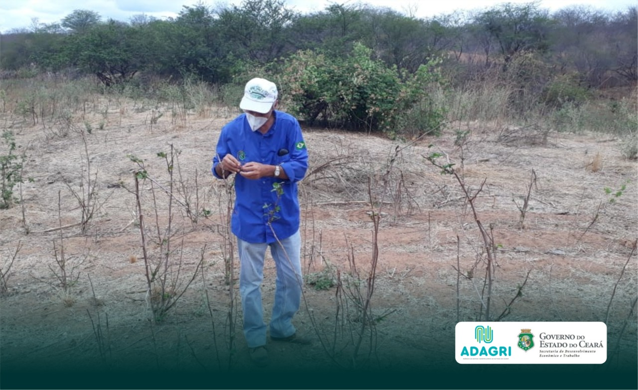 Adagri orienta produtores de algodão sobre o Vazio Sanitário no Sertão dos Inhamuns