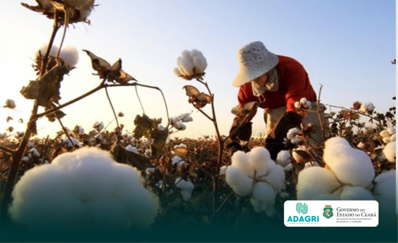 Produtores de algodão devem cadastrar suas unidades para o plantio de 2021